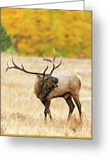 Autumn Bull Elk Bugling Greeting Card