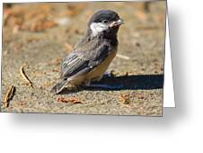 Baby Chickadee Greeting Card by Naman Imagery