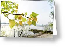 Backlit Poplar Leaves Greeting Card