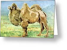 Bactrian Camel, Endangered Species Greeting Card