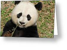 Bamboo Sticking Out Of The Mouth Of A Giant Panda Bear Greeting Card