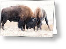 Battle Of The Bison In Rut Greeting Card