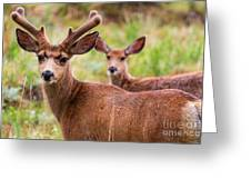 Beautiful Mule Deer Herd Greeting Card