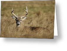 Bedded Buck Greeting Card
