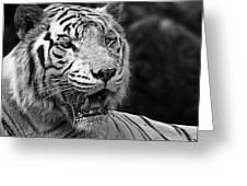 Big Cats 4 Greeting Card