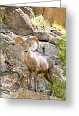 Bighorn Sheep In The San Isabel National Forest Greeting Card