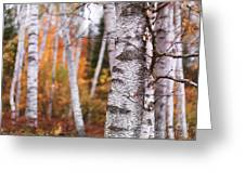 Birch Trees Fall Scenery Greeting Card