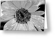 Black And White Gerbera Daisy Greeting Card