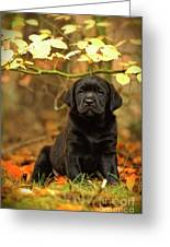 Black Labrador Retriever Puppy Greeting Card