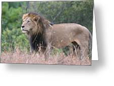 Black Maned Lion Greeting Card