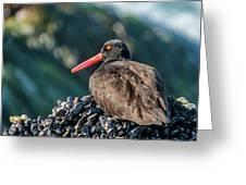 Black Oystercatcher Greeting Card