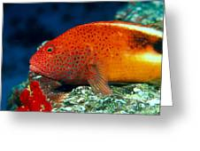 Blackside Hawkfish Greeting Card