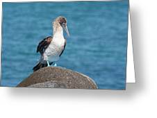 Blue-footed Booby On Rock Greeting Card