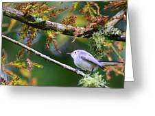 Blue-gray Gnatcatcher In Conifer Greeting Card