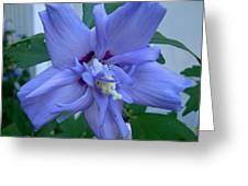Blue Rose Of Sharon Greeting Card