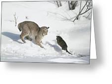 Bobcat Lynx Rufus Hunting Muskrat Greeting Card by Michael Quinton