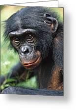 Bonobo Pan Paniscus Portrait Greeting Card