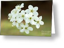 Bradford Pear Flower Greeting Card