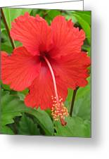 Bright Red Hibiscus Greeting Card
