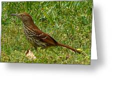 Brown Thrasher Greeting Card
