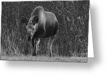 Bw Moose Greeting Card