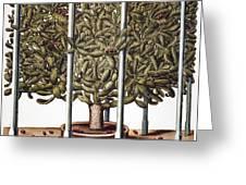 Cactus: Opuntia, 1613 Greeting Card