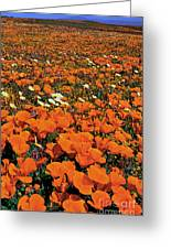 California Poppies Desert Dandelions California Greeting Card