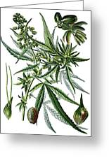 Cannabis Sativa Greeting Card