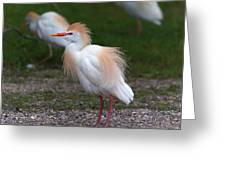 Cattle Egret Walking Close Greeting Card