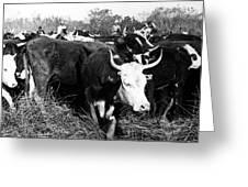 Cattle: Longhorns Greeting Card