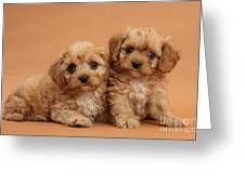 Cavapoo Pups Greeting Card