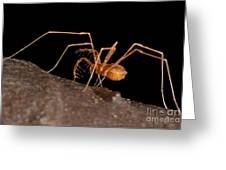 Cave Harvestman Greeting Card