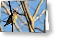 Cedar Wax Wing Greeting Card