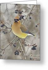 Cedar Wax Wing Greeting Card