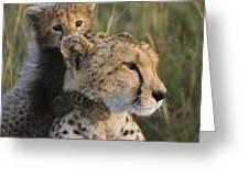 Cheetah Acinonyx Jubatus And Cub Greeting Card