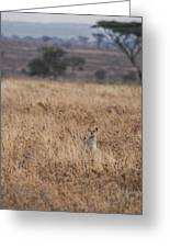 Cheetah In The Tall Grass Greeting Card