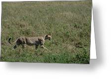Cheetah On The Serengeti Greeting Card
