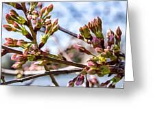 Cherry Tree Buds Greeting Card