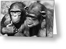 Chimpanzees Greeting Card