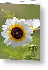 Chrysanthemum Named Polar Star Greeting Card