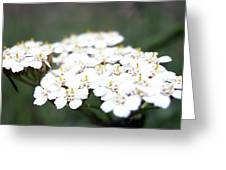 Close-ups Of A White Meadow Flower Greeting Card