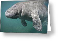 Close View Of A Manatee Greeting Card by Nick Norman