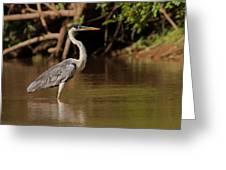 Cocoi Heron Greeting Card