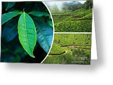 Collage Of  Tea Plantations In Munnar  Greeting Card