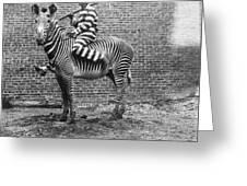Comic Criminal Riding A Zebra Greeting Card
