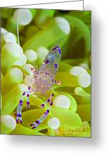 Commensal Shrimp On Green Anemone Greeting Card by Steve Jones