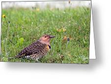 Common Flicker Greeting Card