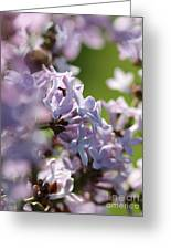 Common Purple Lilac Greeting Card
