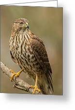Coopers Hawk Portrait Greeting Card