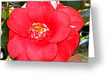 Coral Camellia At Pilgrim Place In Claremont-california  Greeting Card
